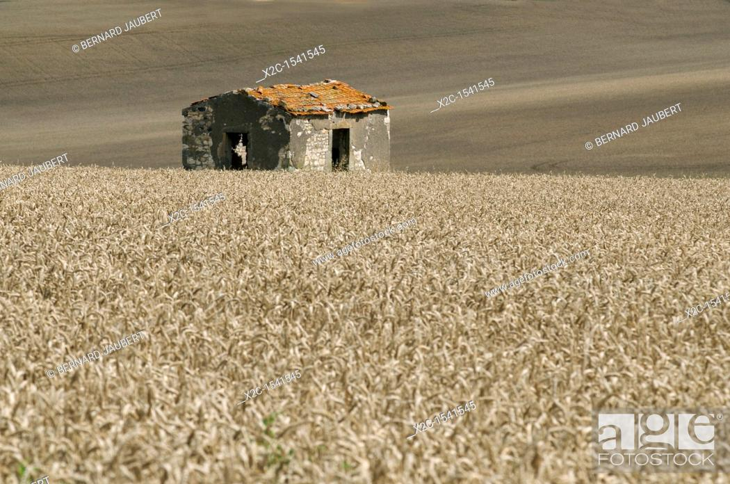 Stock Photo: Wheat field with stone shed in the middle. Auvergne. France.