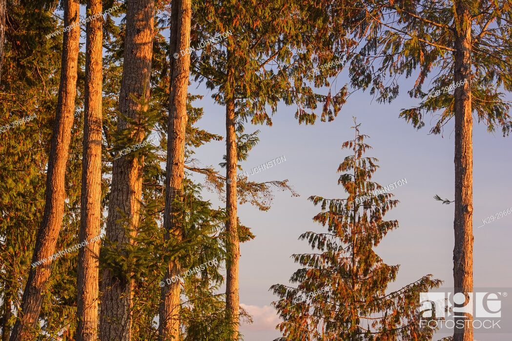 Stock Photo: Fir trees overlooking the Nanaimo River Estuary, Living Forest Campground, Nanaimo, British Columbia, Canada.