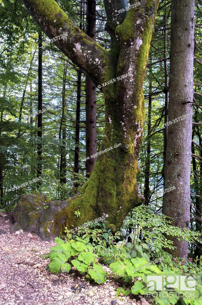 Stock Photo: Forest, Lake Bohinj, Municipality of Bohinj, Triglav National Park, Slovenia.