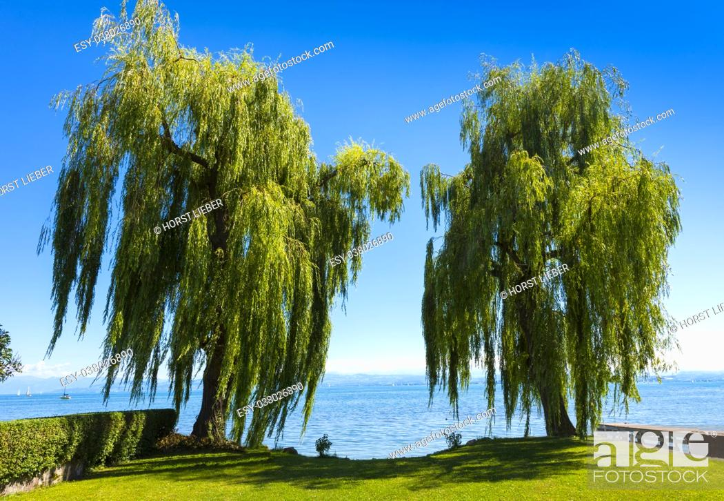 Stock Photo: Two beautiful weeping willow and the Lake Constance in Immenstaad - Immenstaad, Lake Constance, Baden-Wuerttemberg, Germany, Europe.