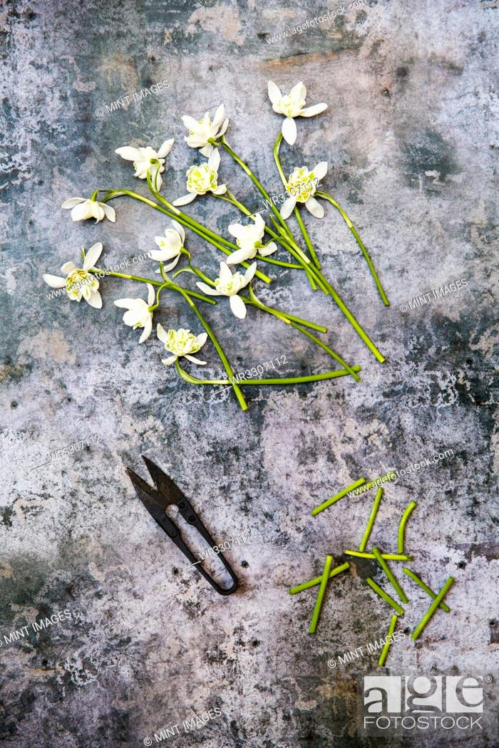 Stock Photo: High angle close up of bunch of snowdrops and garden scissors on textured grey surface.