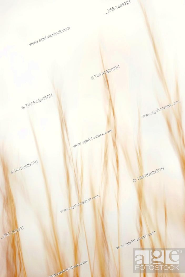 Stock Photo: Close up reeds blowing in wind.