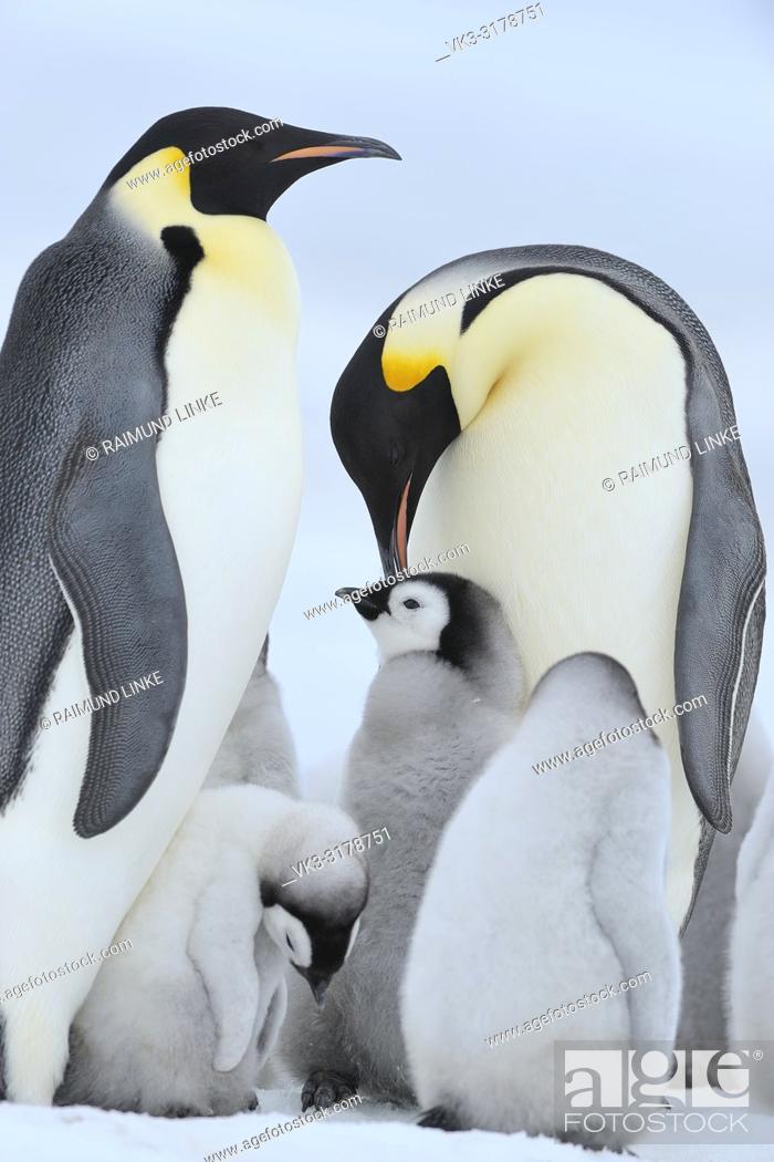 Imagen: Emperor penguins, Aptenodytes forsteri, Pair with Chicks, Snow Hill Island, Antartic Peninsula, Antarctica.