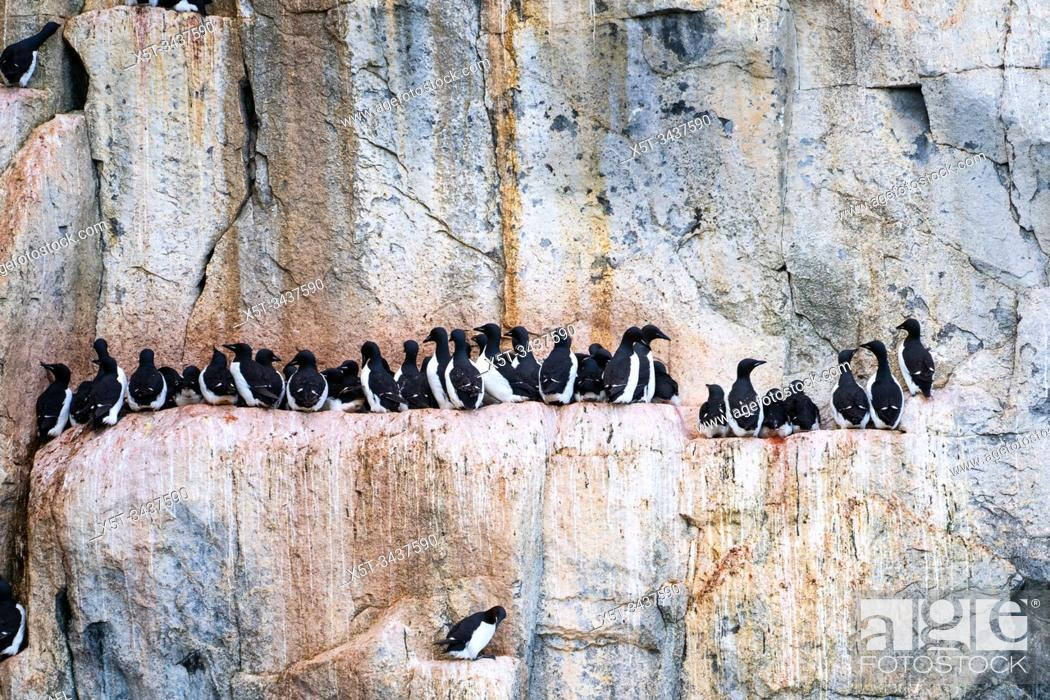 Stock Photo: Nesting colony of Thick-billed murre or Brunnich's guillemot (Uria lomvia) at Aalkefjellet Hinlopenstretet Spitsbergen, Svalbard, home to over 60.
