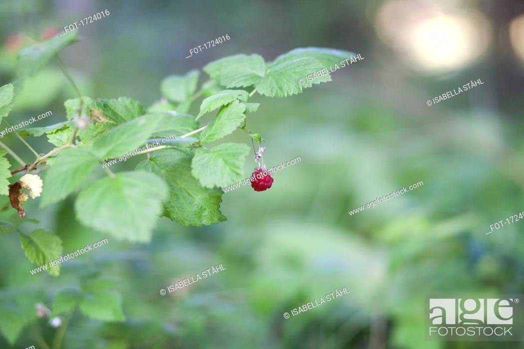 Stock Photo: Close-up of raspberry growing on plant.