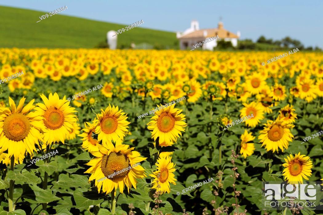 Stock Photo: Helianthus annuus. Sunflower field Cordoba province, Andalusia, Spain, Europe.