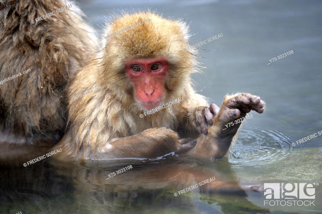 Stock Photo: Japanese Macaque snow monkey at Jigokudani Monkey Park near Nagano, Honshu, Japan, Asia.