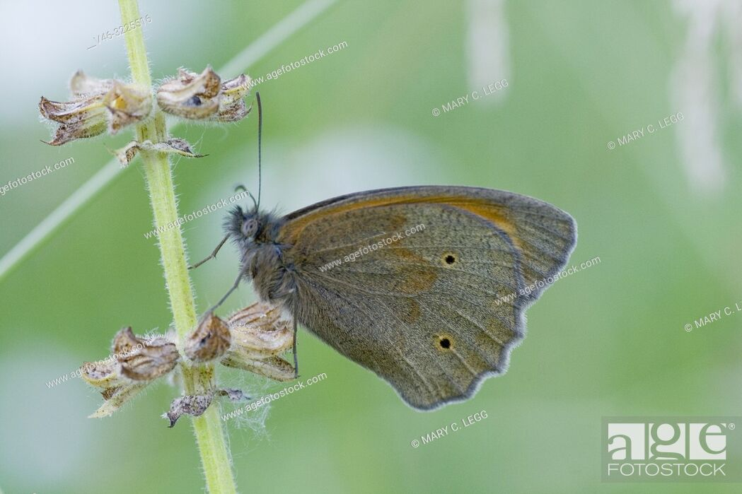 Stock Photo: Meadow Brown, Maniola jurtina upper wings . Large chestnut butterfly with eyespots found in pasture land, meadows and grassy parks with tall grass.