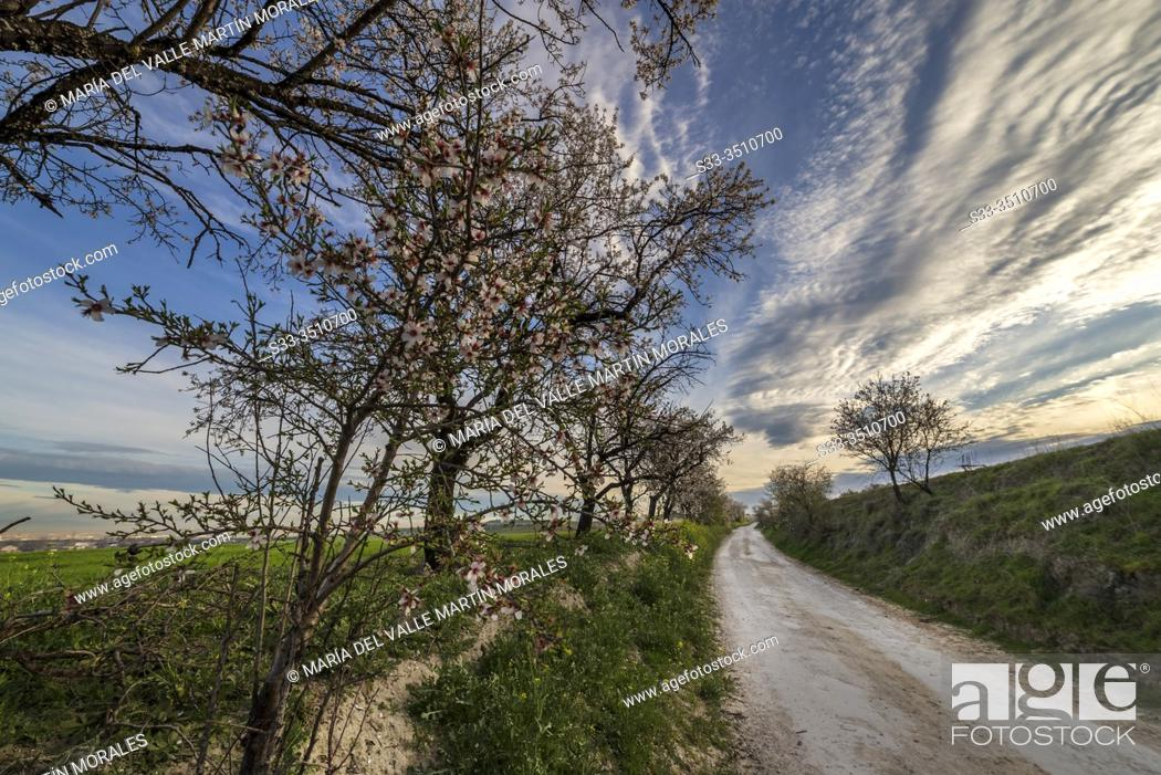 Stock Photo: Road between almond trees in spring time. Pinto. Madrid. Spain. Europe.
