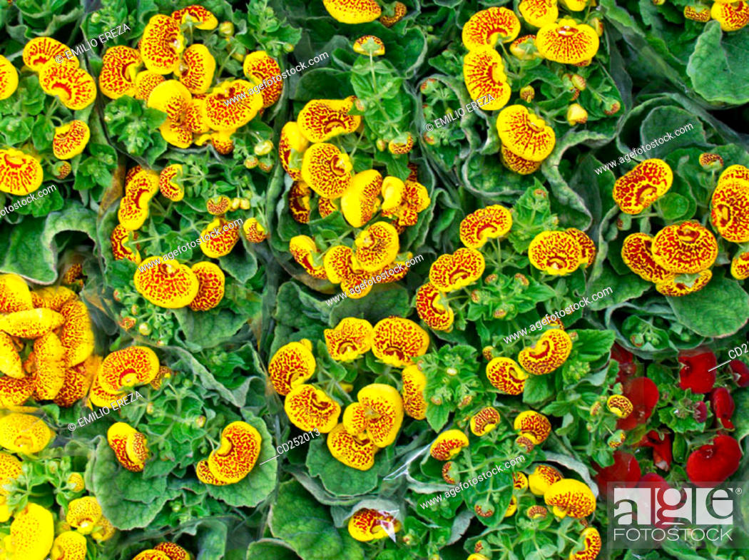 Stock Photo: Slipperwort (Calceolaria sp.).