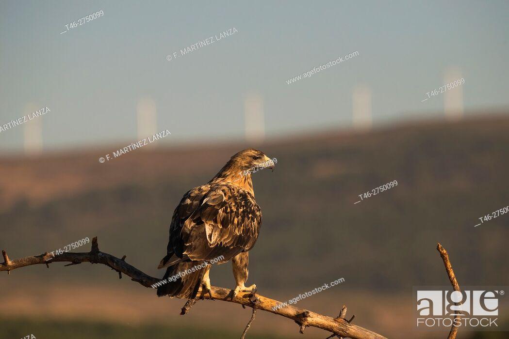 Stock Photo: Spanish imperial eagle (Aquila adalberti). Sierra de Guadarrama, Madrid province, Spain.