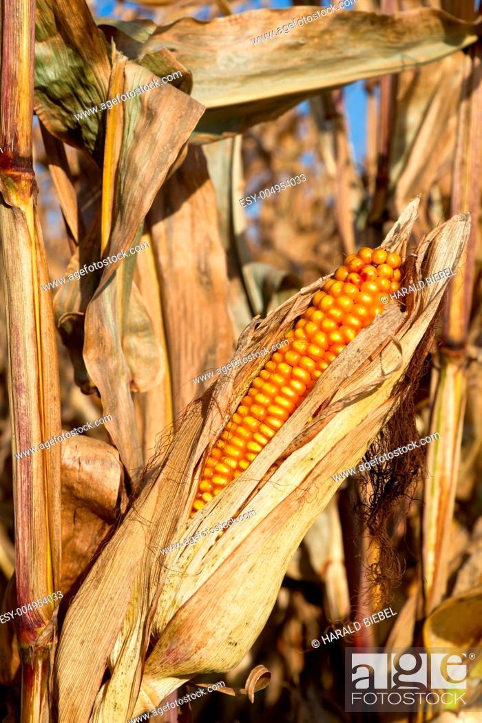Stock Photo: Maiskolben im Maisfeld vor der Ernte.