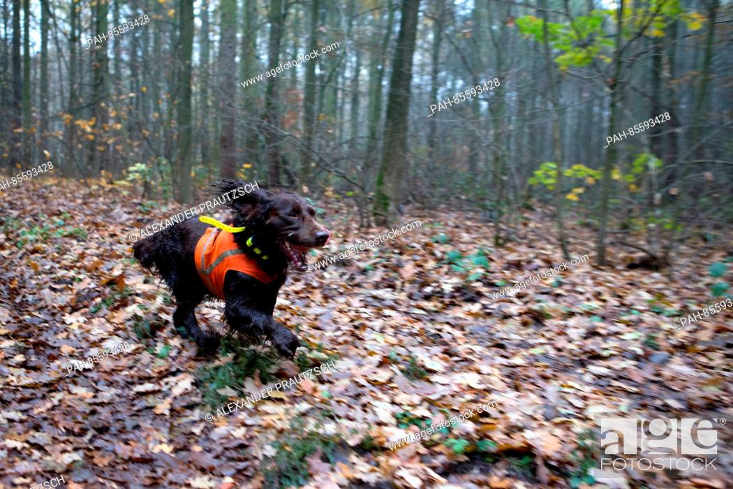 1bf7d96d9fb3e Stock Photo - A hunting dog with a safety vest and GPS transmitter runs  through the woods at the 1,000-hectare area during the Hubertus Hunt in  Taura, ...