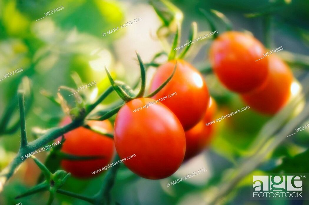 Stock Photo: Red Cherry Tomatoes. Solanum lycopersicon. August 2007, Maryland, USA.