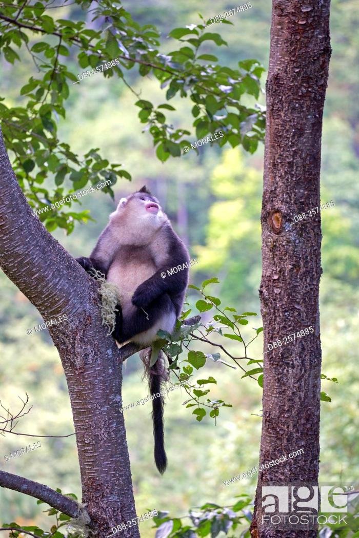 Imagen: Asia, China, Yunnan province, Yunnan Snub-nosed Monkey Rhinopithecus bieti, in a tree.