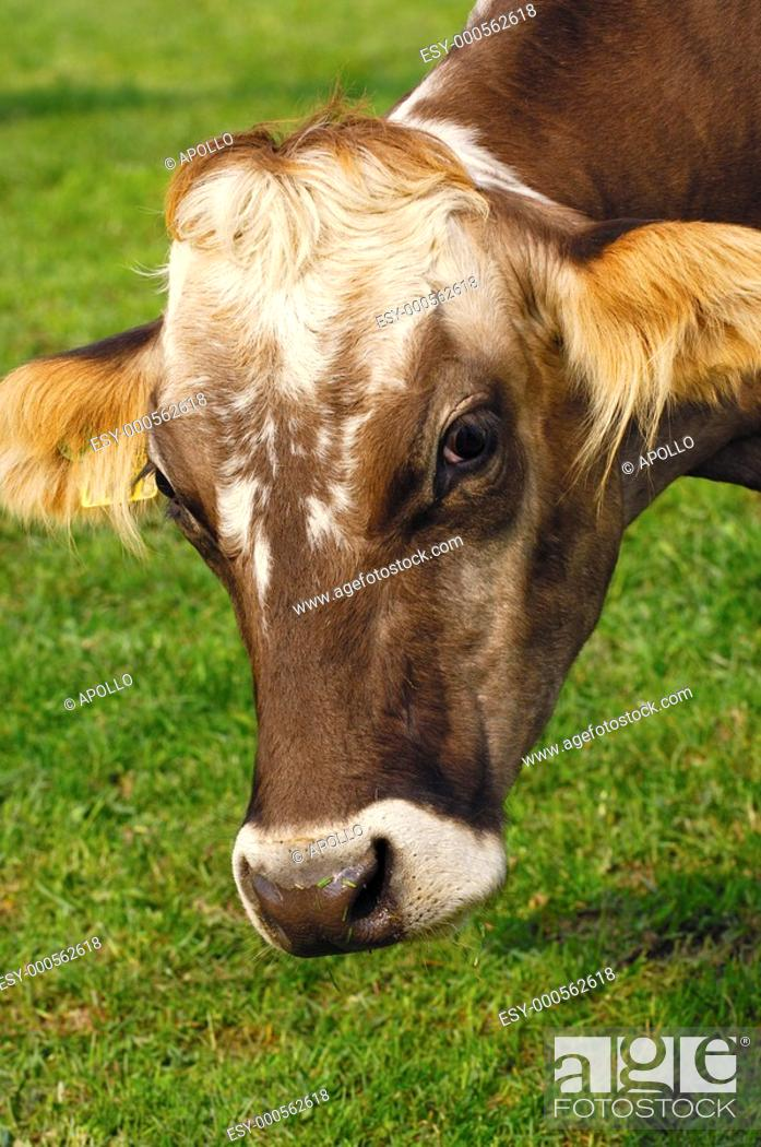 Stock Photo: Portrait of a grazing hornless cow.