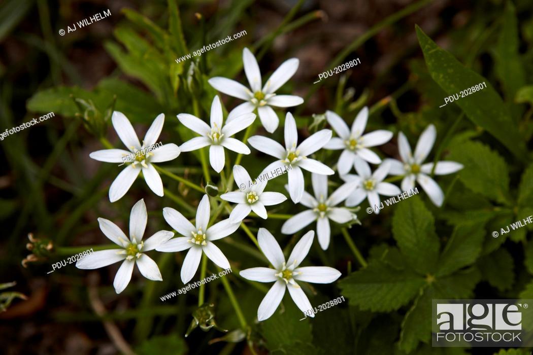 Stock Photo: Star of bethleham flower.