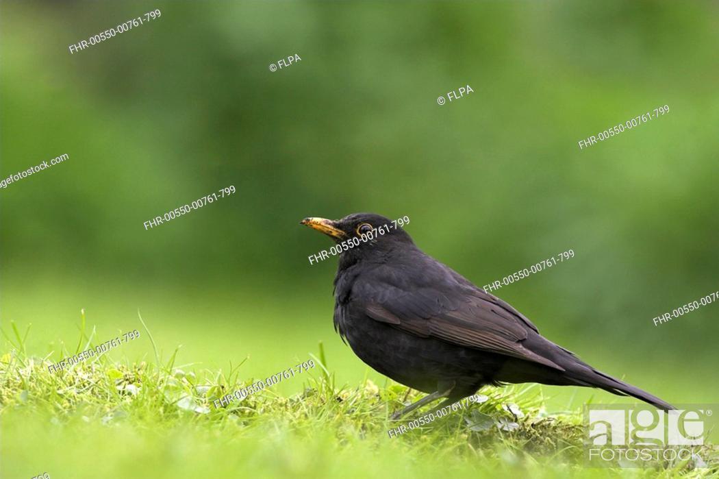 Stock Photo: European Blackbird Turdus merula adult male, standing on garden lawn, Berwickshire, Borders, Scotland, spring.
