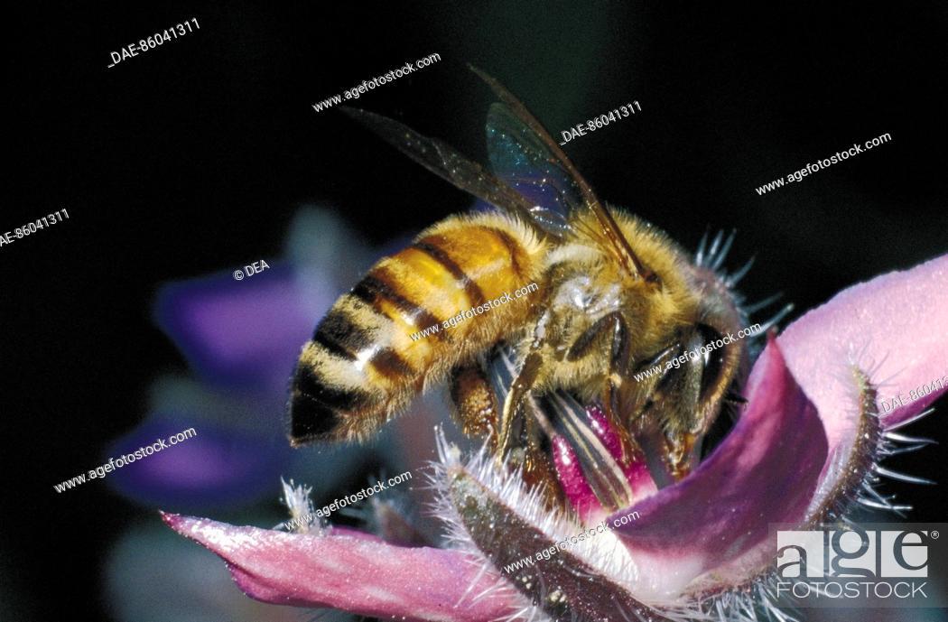 Stock Photo: Western honey bee or European honey bee (Apis mellifera) on Starflowers (Borago officinalis), Apidae.