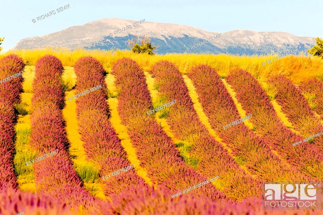 Stock Photo: lavender field, Plateau de Valensole, Provence, France.