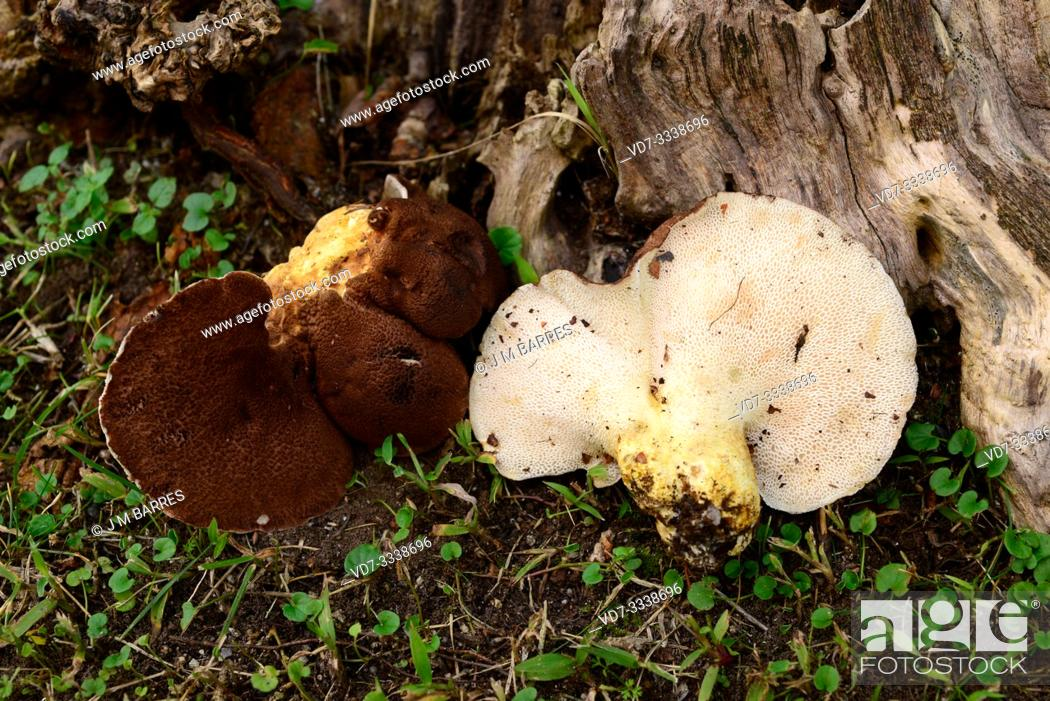 Stock Photo: Albatrellus pes-caprae, Polyporus pes-caprae or Scutiger pes-caprae is an edible mushroom. This photo was taken in Montseny Biosphere Reserve.