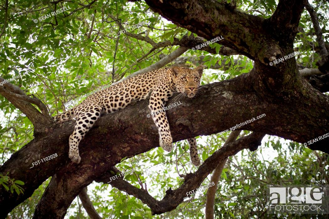 Stock Photo: A leopard lying on a tree branch, looking away.