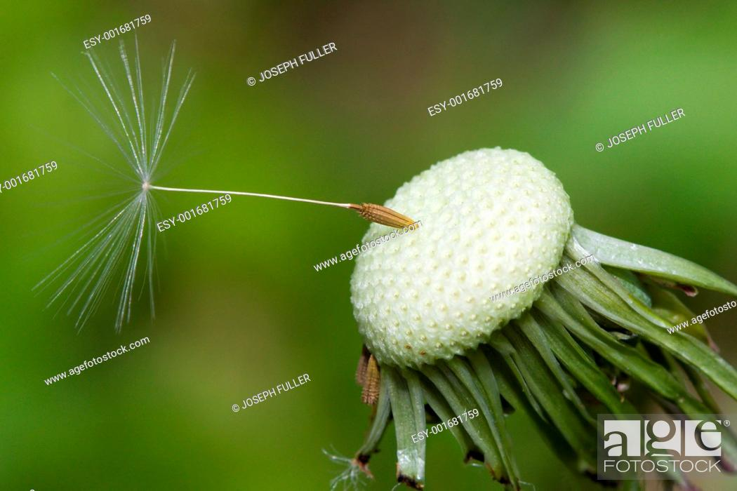 Stock Photo: Close up of a spent Dandelion.