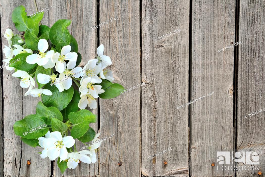 Stock Photo: Gentle blooming apple tree branch with fragrant fresh white flowers and green leaves on a grunge wooden fence background with space for text - element of spring.