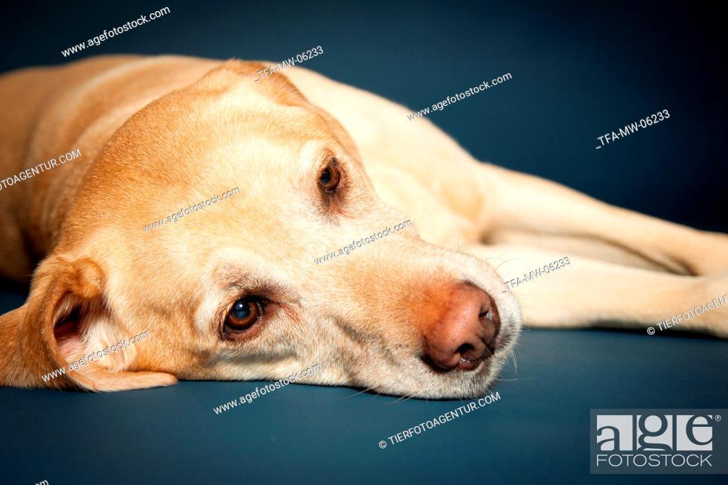 Stock Photo: Labrador Retriever Portrait.