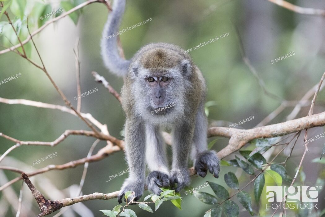 Stock Photo: Asia, Indonesia, Borneo, Tanjung Puting National Park, Crab-eating macaque or long-tailed macaque (Macaca fascicularis), in a tree near by the water..