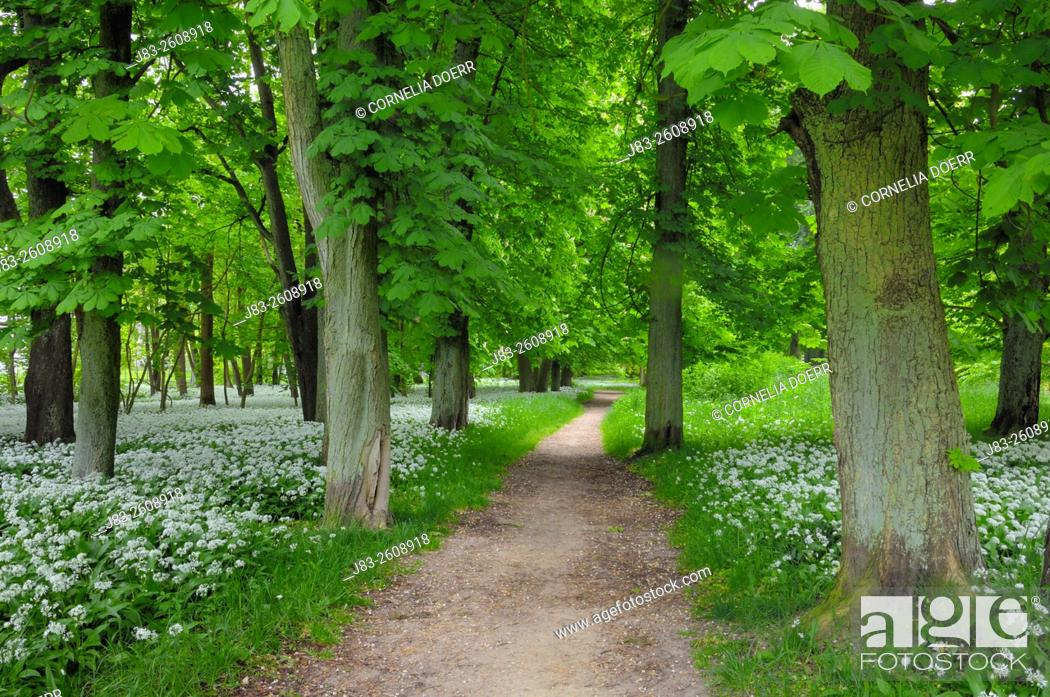 Stock Photo: Footpath through Chestnut trees surrounded of blooming Ramsons (Wild garlic), (Allium ursinum) in spring at castle Park Putbus, Insel Rügen, Isle of Ruegen.