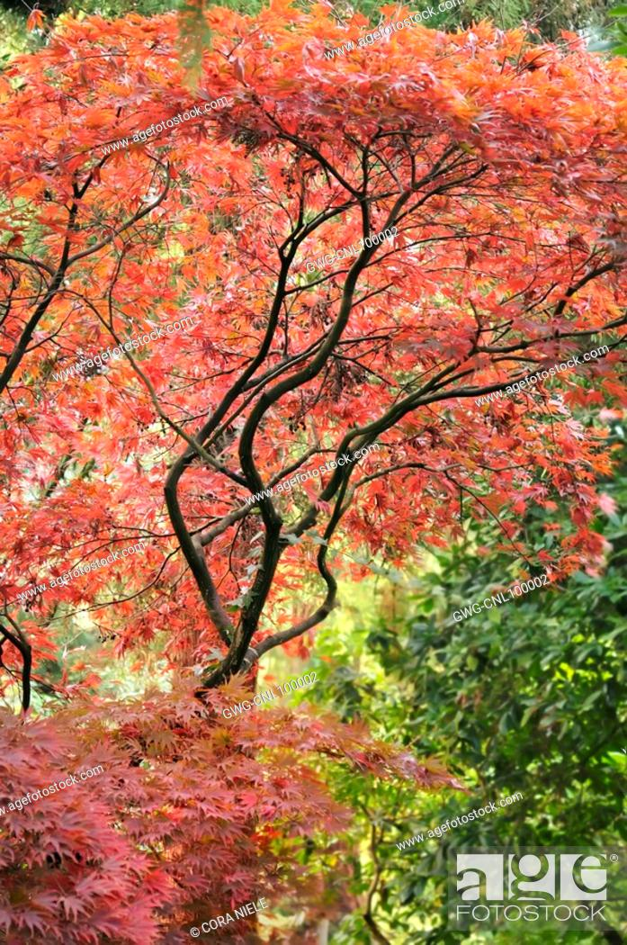 Acer Palmatum Mon Papa Stock Photo Picture And Rights Managed
