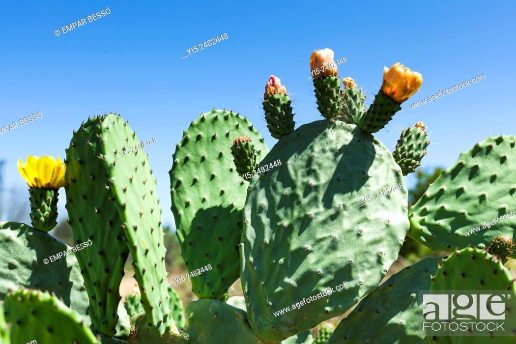 Stock Photo: Prickly pear. Valencia. Spain.