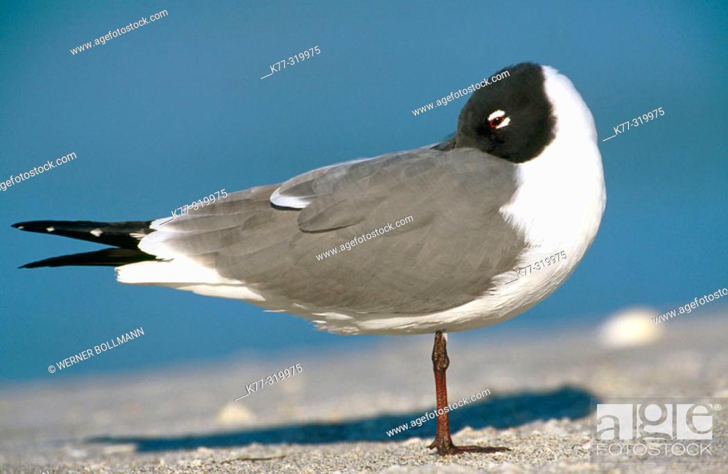 Stock Photo: Laughing Gull (Larus atricilla). Florida. USA.