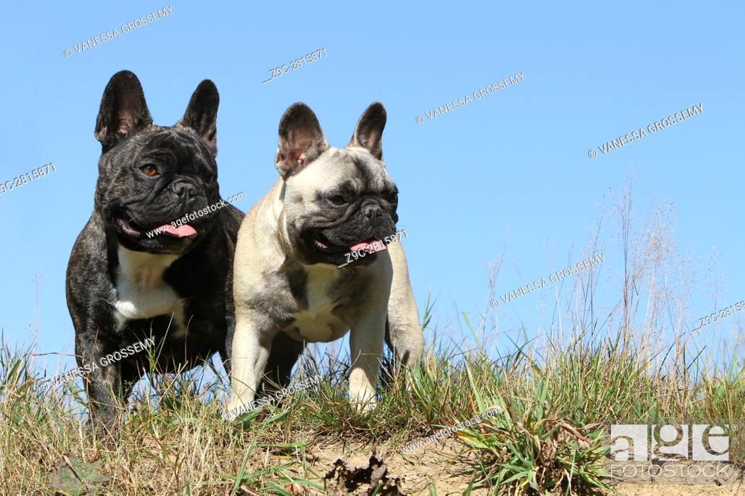 Stock Photo - Dog French Bulldog two adults standing in a meadow