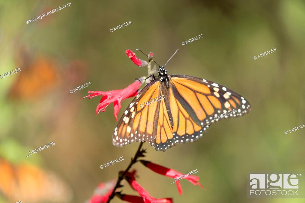 Imagen: Central America, Mexico, State of Michoacan, Angangueo, Reserve of the Biosfera Monarca El Rosario, monarch butterfly (Danaus plexippus), Foraging on flowers.