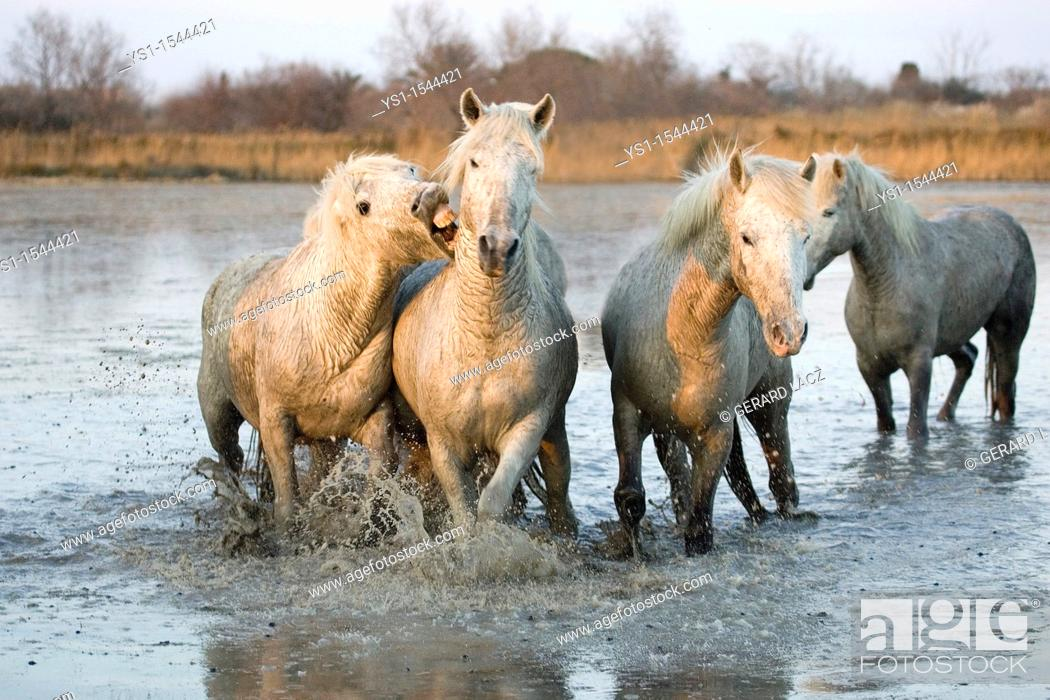 Stock Photo: Camargue Horses, Herd standing in Swamp, Saintes Marie de la Mer in the South of France.