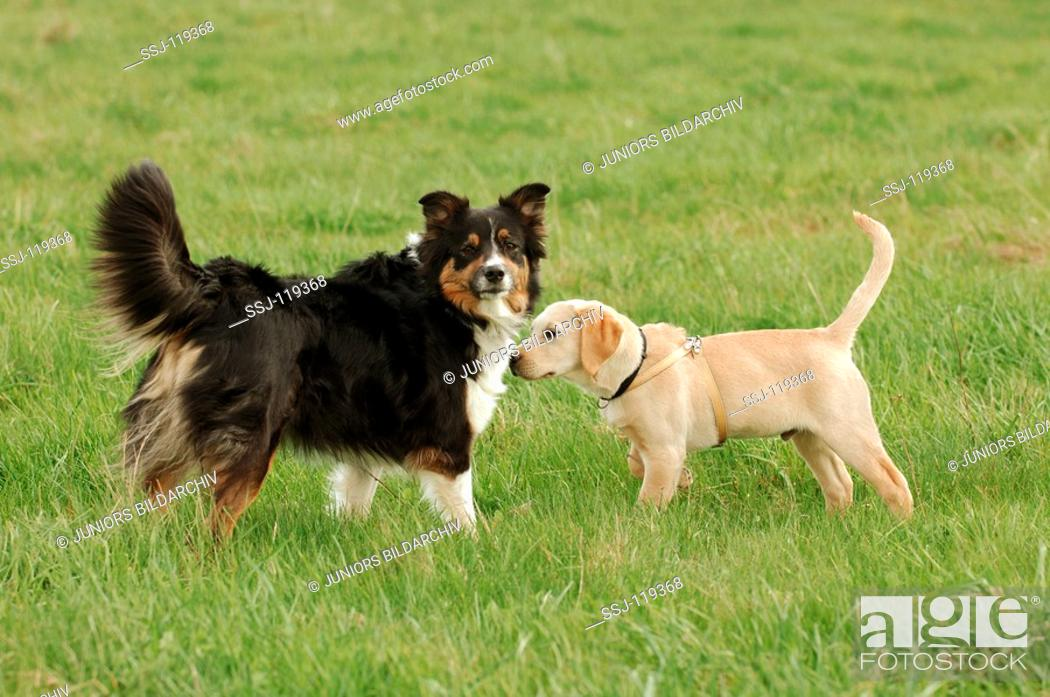 Border collie and Labrador retriever puppy, Stock Photo