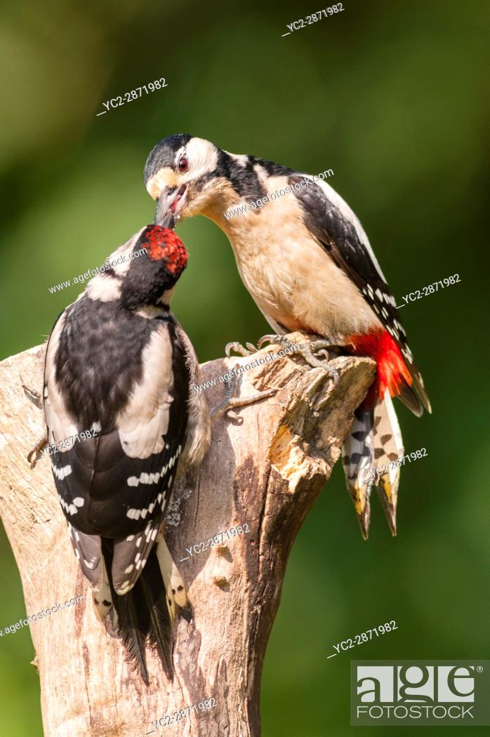 Stock Photo: A young Great Spotted Woodpecker (Dendrocopos major) being fed by its parent on a tree in the uk.