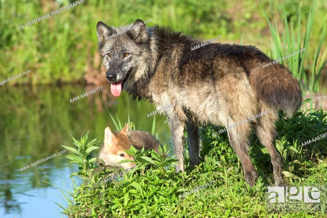 Grey wolf (Alpha female) with pup (Canis lupus) Minnesota