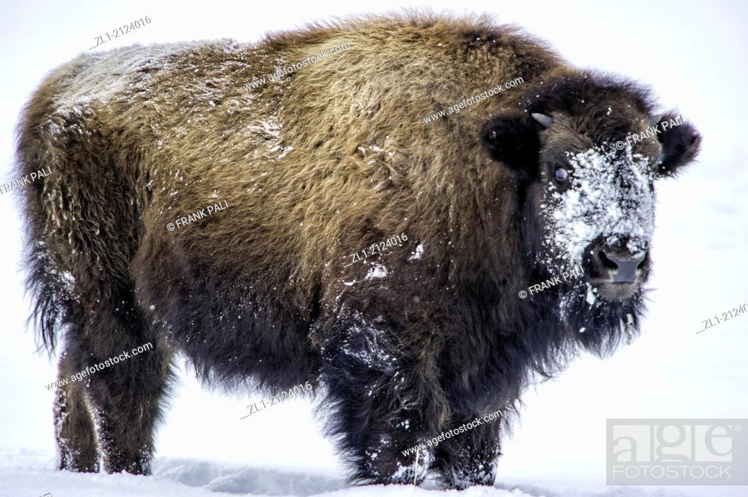 Stock Photo: The American bison Bison bison, Wildlife of Yellowstone Park at Lamar Valley Mammoth Falls, Wyoming USA.