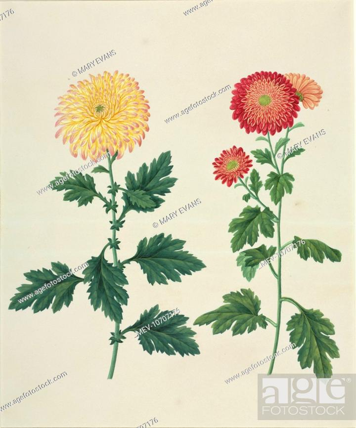 Chrysanthemum X Morifolium Chrysanthemum Plate 582 From The John Reeves Collection Of Botanical Stock Photo Picture And Rights Managed Image Pic Mev 10707176 Agefotostock