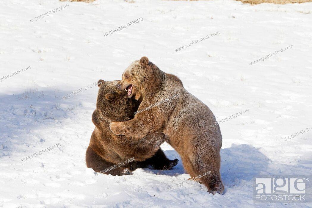 Stock Photo: United States, Montana, Bozeman, Game Farm, Brown Bear, Grizzly (Ursus arctos horribilis), fighting.
