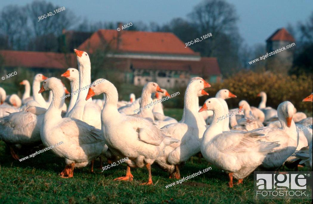 Stock Photo: Free-range domestic Geese Schleswig-Holstein Germany.