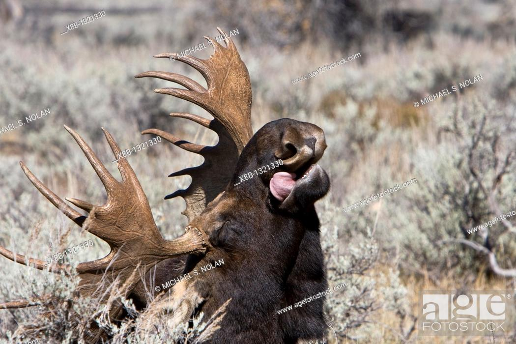 Stock Photo: Adult bull moose Alces alces shirasi near the Gros Ventre river just outside of Grand Teton National Park, Wyoming, USA  The moose is actually the largest.