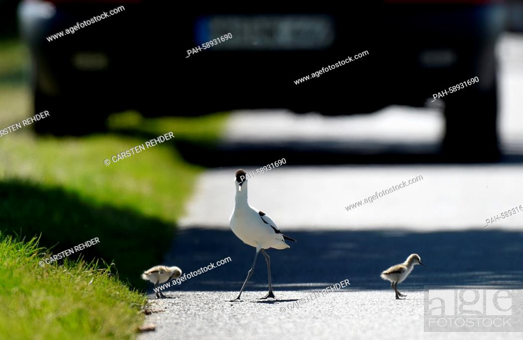 Stock Photo: A pied avocet and chicks walk across a street near Trennewurth, Germany, 04 June 2015. The chicks had made them selves comfortable on the warm but dangerous.
