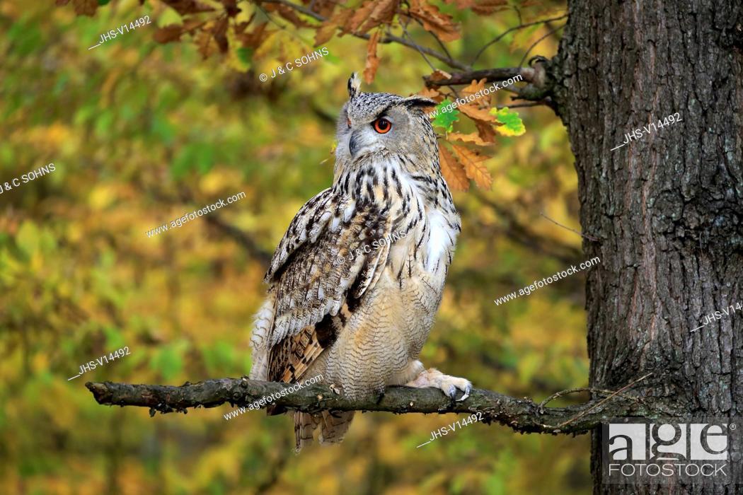 Stock Photo: Western Siberian Eagle Owl, (Bubo bubo sibiricus), adult alert on branch, Rimavska Sobota, Slovak Republic, Europe.