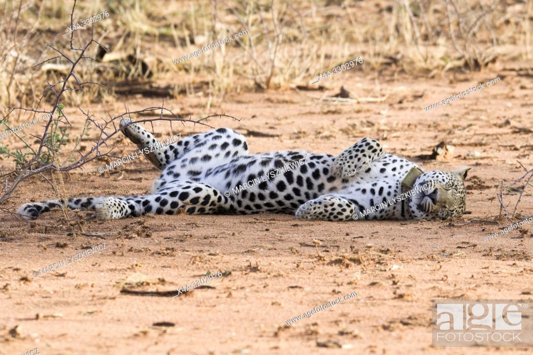 Stock Photo: Cheerful leopard, Okonjima Nature Reserve, Namibia.