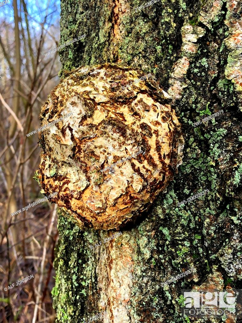 Stock Photo: Huge gall on the trunk of a tree in Ystad, Scania, Sweden.