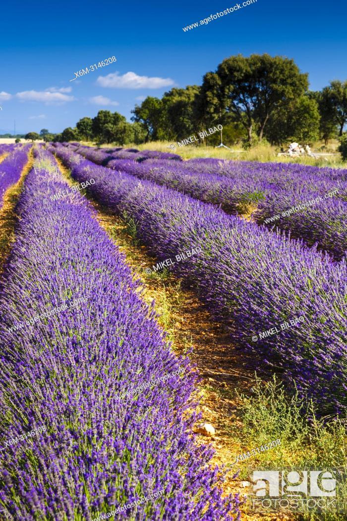 Stock Photo: Lavender fields. Brihuega, Guadalajara. Castile-La Mancha. Spain, Europe.